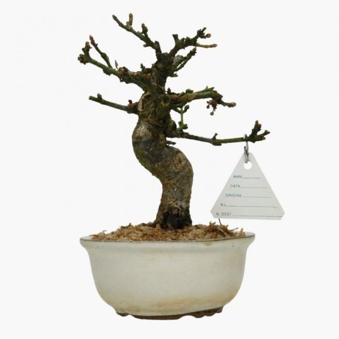 Viburnum dilatatum - 20 cm