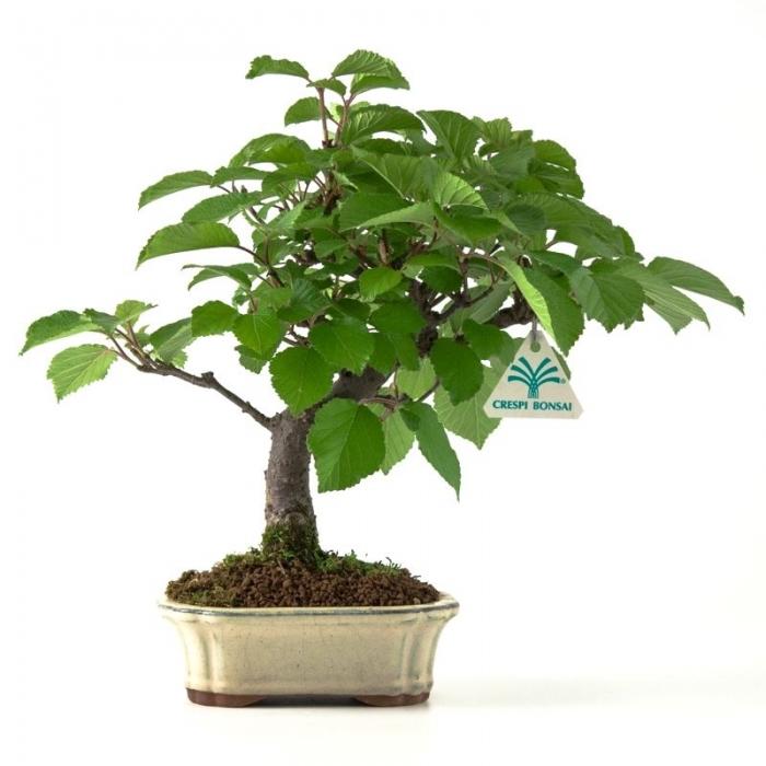 Viburnum dilatatum - 30 cm