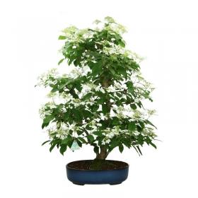 Viburnum plicatum - 76 cm