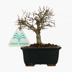 Zelkova serrata - Olmo - 12 cm