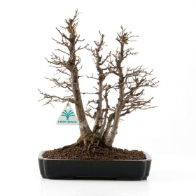 Zelkova serrata - Olmo - 28 cm