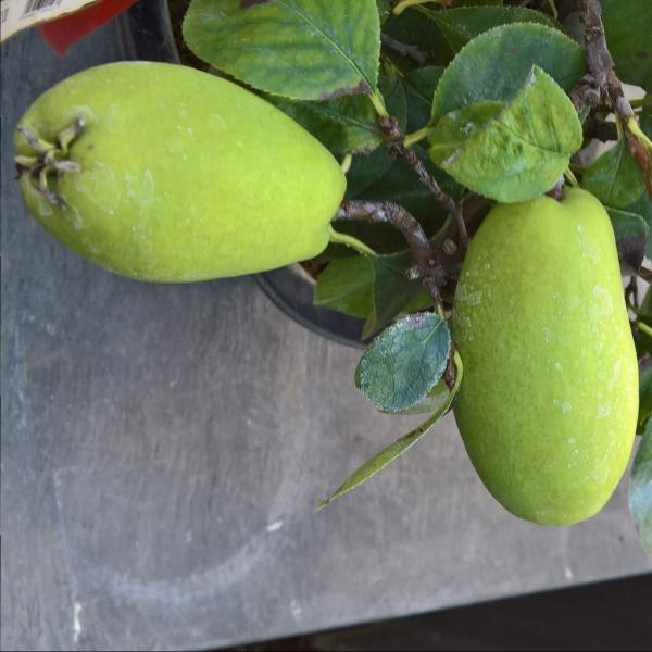 Pseudocydonia chinensis karin - Cognassier - 48 cm