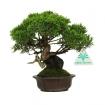 Juniperus chinensis - Genèvrier de Chine - 20 cm