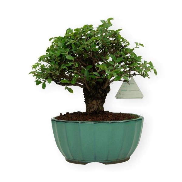 Ulmus parvifolia - 22 cm