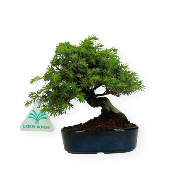 Juniperus rigida - Ginepro ad aghi - 16 cm