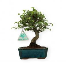 Ulmus parvifolia - Olmo - 20 cm