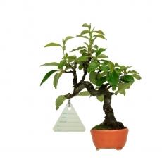 Cydonia - Cognassier - 17 cm