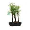 Metasequoia - 25 cm