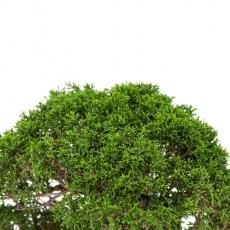 Juniperus chinensis - Ginepro - 32 cm