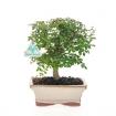 Fraxinus - Frêne - 25 cm