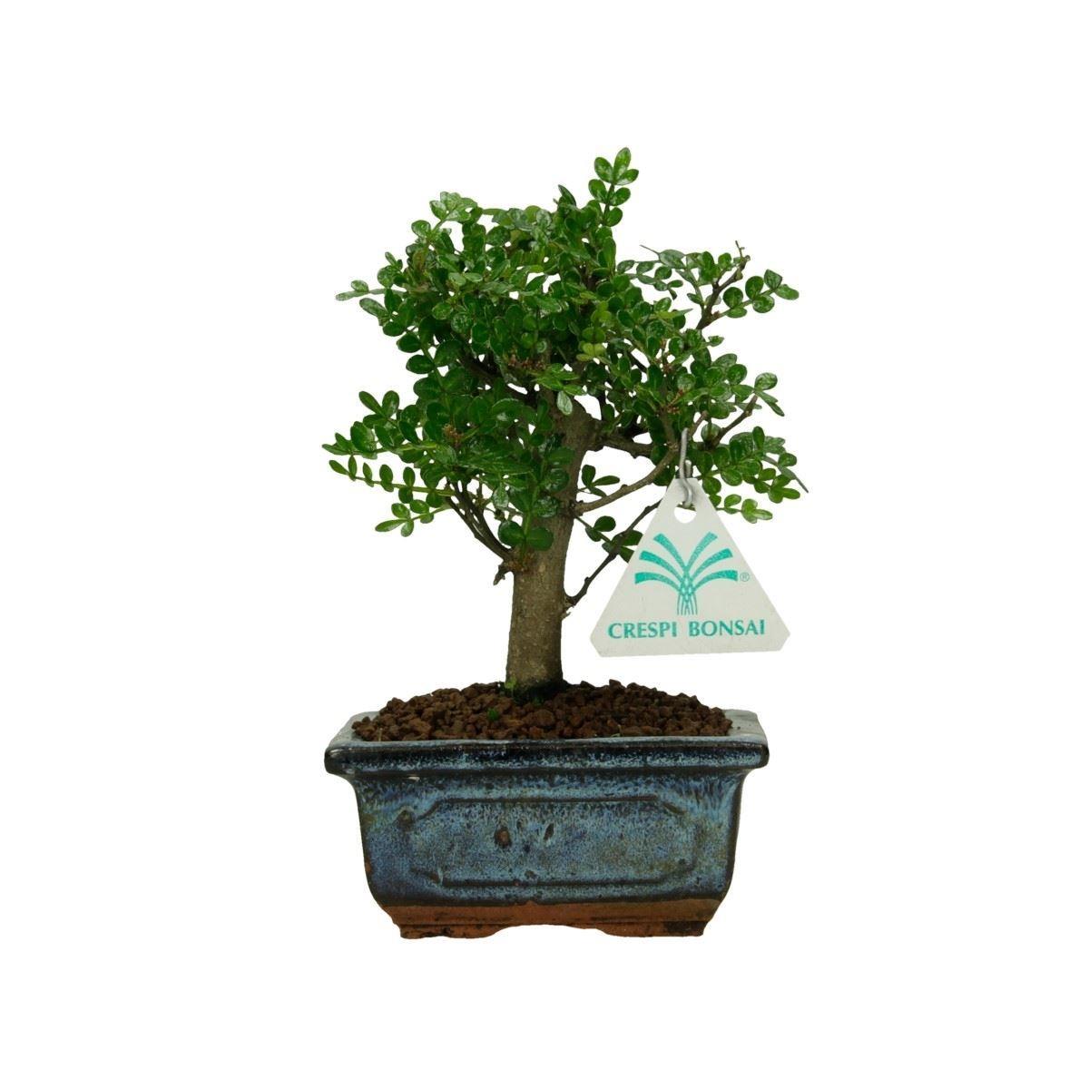 Zanthoxylum albero del pepe 18 cm for Bonsai pepe