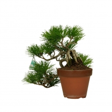 Pinus pentaphylla  - Pino - 20 cm