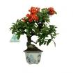 Pyracantha angustifolia - 25 cm