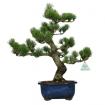 Pinus pentaphylla  - Pino - 46 cm