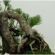 Pinus pentaphylla  - Pino - 33 cm