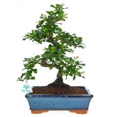 Carmona macrophylla -  Pianta del tè - 32 cm