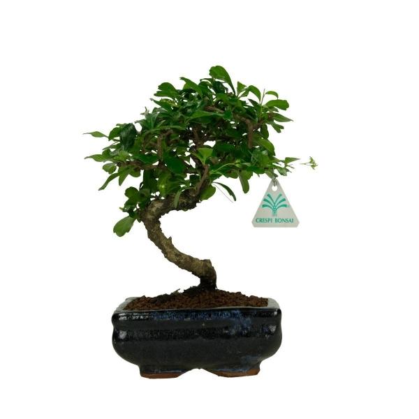 Carmona macrophylla -  Pianta del tè - 25 cm