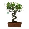Ficus retusa - 33 cm