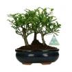 Pepper tree - Albero del pepe - 22 cm