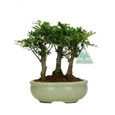 Pepper tree - Albero del pepe - 20 cm