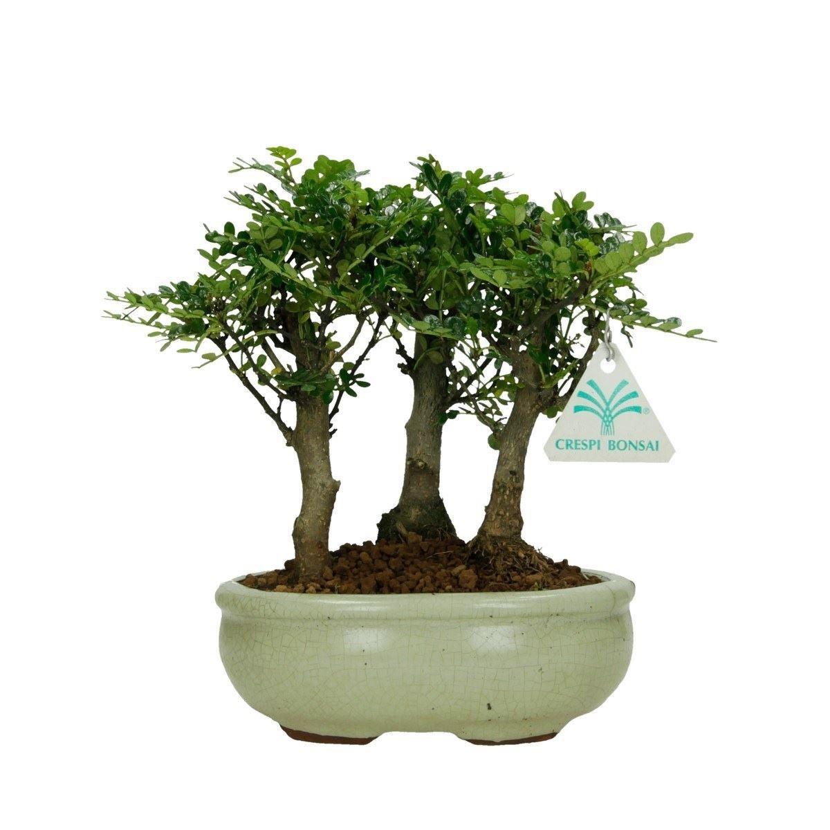 Zanthoxylum albero del pepe 20 cm for Bonsai pepe