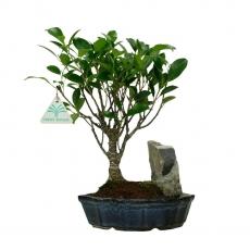 Ficus retusa - 27 cm