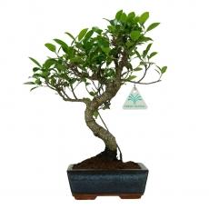 Ficus retusa - 31 cm