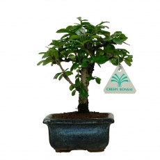 Carmona macrophylla -  Pianta del tè - 18 cm