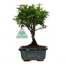 Sagerethia theezans - 20 cm