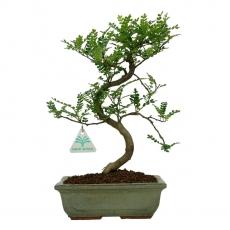Zanthoxylum - Albero del pepe - 35 cm