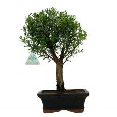 Syzygium communis - 32 cm