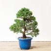 Pinus pentaphylla - 90 cm
