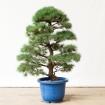 Pinus pentaphylla - 105 cm