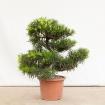Podocarpus macrophylla - 80 cm