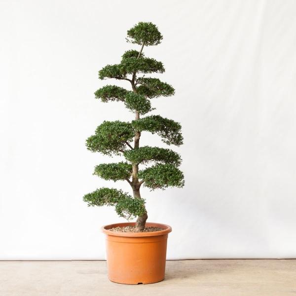 Ilex crenata - 175 cm