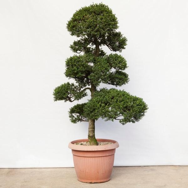 Ilex crenata - 215 cm