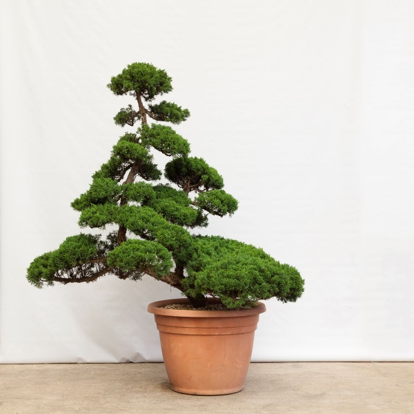Juniperus chinensis - 150 cm