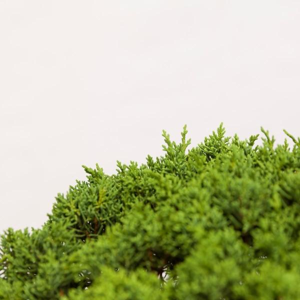 Juniperus chinensis - 135 cm