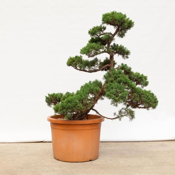 Juniperus chinensis - 95 cm