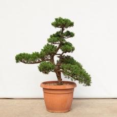 Juniperus chinensis - 80 cm
