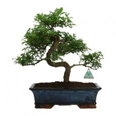 Pepper tree - Albero del pepe - 38 cm