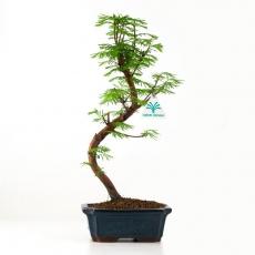 Metasequoia - 29 cm