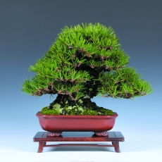 Cours avancé de bonsai shohin