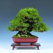 Corso avanzato di bonsai shohin - venerdì 22 febbraio