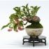 Corso di bonsai shohin per principianti