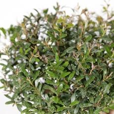 Syzygium communis - 37 cm