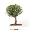Syzygium communis - 39 cm