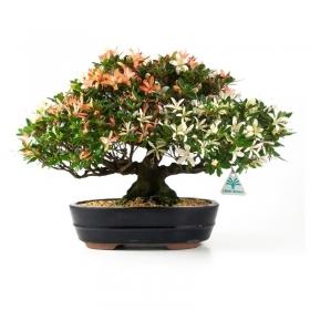 Azalea - 29 cm