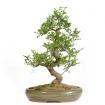 Zanthoxylum - Albero del pepe - 58 cm