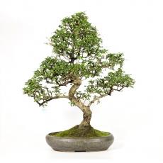 Carmona macrophylla -  Abre à thé - 85 cm